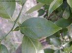 Pecíolo é a porção delgada da folha que une o limbo à bainha ou ao caule. Seu comprimento varia nas diferentes espécies de plantas. Um exemplo de pecíolo é alado, encontrado na porção inferior da folha de laranjeira.<br /> <br /> Palavra-chave: Botânica, anatomia, folhas, pecíolo, estruturas.