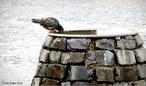 Filo Chordata, Classe das Aves, Ordem Columbidae, Família Columbiformes que inclui os pombos, pombas, rolas e rolinhas.Há cerca de 300 espécies desta famílias distribuídas em todos os continentes. Os columbídeos são aves de pequeno e médio porte, com pescoço, bico e patas curtas, que se alimentam de sementes e frutos. <br /> <br /> Palavra-chave: Chordata, Aves, Columbidae, Columbiformes, Espécies, Porte.