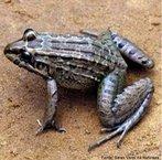 Anfíbio de grande porte encontrado em alguns países da América do Sul. De hábito noturno, é encontrada em brejos, lagoas e pântanos. Alimenta-se de invertebrados e pequenos vertebrados, como aves.<br /> <br /> Palavra-chave: batráquios, vertebrados, leptodactylus labyrinthicus, anfíbios, anura.