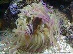 Animais cnidários pertencentes a classe Anthozoa. São marinhos e vivem, preferencialmente, solitários.<br /> <br /> Palavra-chave: Cnidários, antozoários, pólipos, cnidoblastos, tentáculos.