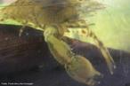 É um crustáceo, que possui dez pernas e abdômen alongado. A fecundação dos camarões é externa; o macho fecunda os óvulos após a postura e os ovos são mantidos entre as pernas abdominais da fêmea, durante todo o período da incubação.<br /> <br /> Palavra-chave: Artrópodes. Crustáceos. Invertebrados. Ferro. Peneídeos. Decápode. Areia.