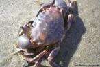 Animal invertebrado pertencente ao filo Artrópoda. Apresenta o corpo dividido em cefalotórax e abdome.<br /> <br /> Palavra-chave: crustáceos, manguezal, glândulas verdes.