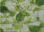 Organelas citoplasmáticas presentes em células vegetais, ricos em clorofila e responsáveis pelo processo de fotossíntese.<br /> <br /> Palavra-chave: Citologia, estruturas, folhas, fotossíntese, autoduplicação.