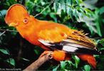 O galo-da-serra mede 28 cm de comprimento, sendo o macho de cor laranja e a fêmea marrom-escura. Vive em florestas úmidas localizadas em escarpas, principalmente nas proximidades de córregos sombreados. Encontrado no Norte do Brasil, nas Guianas, Venezuela e Colômbia.<br /> <br /> Palavra-chave: rupícola, Passeriformes, aves, galo-da-serra-do-pará.