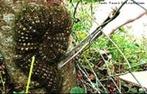 Também conhecida por Taturana,possui veneno em seus espinhos, onde a intoxicação por este veneno leva á hemorragia e a morte.<br /> <br /> Palavra-chave: taturana, veneno, hemorragias, Zoologia, Biologia, Ciências.