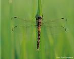 Inseto alado pertencente a ordem Odonata. Mede de 2 a 16 cm de envergadura e vivem, em média, 4 anos. Apresentam metamorfose incompleta.<br /> <br /> Palavra-chave: hemimetábolos, artrópodes, insetos, exúvia, ninfas, Anisoptera.