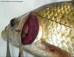 Estrutura presente nos peixes ósseos responsável pela proteção das brânquias. <br /> <br /> Palavra-chave: actinopterígios, respiração, proteção.