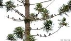 Filo Chordata, Classe das Aves, Ordem Columbidae, Família Columbiformes que inclui os pombos, pombas, rolas e rolinhas.Há cerca de 300 espécies desta famílias distribuídas em todos os continentes. Os columbídeos são aves de pequeno e médio porte, com pescoço, bico e patas curtas, que se alimentam de sementes e frutos.<br /> <br /> Palavra-chave: Chordata, aves, Columbidae, Columbiformes, espécies, porte, Zoologia, Biologia, Ciências.
