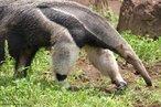 Animal vertebrado pertencente a classe Mammalia e a Ordem Pilosa. Vivem nos cerrados e florestas das Américas Central e do Sul. Não possuem dentes, alimentam-se de formigas e cupins através de uma língua comprida e pegajosa. É cauteloso, pacífico e solitário. defende-se com as fortes garras das patas dianteiras.<br /> <br /> Palavra-chave: Papa-formigas. Desdentado. Jurumim. Tapi. Myrmecophagideos. Cerrados.