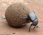 """Esta espécie de besouro tem o hábito de rolar pedaços de fezes de mamíferos até galerias no solo, que servem para postura de ovos pela fêmea e alimento às larvas ao nascer. Apresenta importância ecológica, como: para o solo - evitam a perda de nitrogênio, adubam, diminuem a liberação de amônia e aumentam a aeração; para os pecuaristas - principal agente controlador da """"mosca-de-chifre"""" e de outros ectoparasitas dos bovinos (que não encontram matéria-prima para a postura de seus ovos), e contribuem na limpeza das pastagens (aumentando a área de alimentação dos bovinos).<br /> <br /> Palavra-chave: artrópodes, insetos, rola-bosta, ciclo de vida, ecologia."""