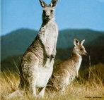 Encontrado na Austrália continental, pesa cerca de 500 g a 90 kg, medindo cerca de 80 cm a 1,60 metros. Apresenta patas traseiras muito desenvolvidas e a presença de uma bolsa (o marsúpio), presente apenas nas fêmeas, na qual o filhote completa seu desenvolvimento. Vivem, em média, quinze anos.<br /> <br /> Palavra-chave: chordata, mamífero, marsupial, Macropus, Oceania.