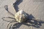 Animal pertencente ao filo Arthropoda. Apresenta uma carapaça com formato triangular e patas compridas e delgadas.<br /> <br /> Palavra-chave: Majidae, crustáceos, artrópodes, marinhos.