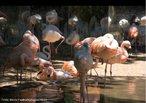 São aves pernaltas, de bico encurvado, que medem entre 90 e 150 cm. A sua plumagem pode ser bastante colorida em tons de rosa vivo. São animais que se alimentam de algas e pequenos crustáceos através de filtração.<br /> <br /> Palavra-chave: Phoenicopteridae. Phoenicopteriformes. Phoenicopterus. Cordados. Aves. Pernaltas.