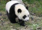 Animal pertencente a Classe Mammalia e Família Ursidae. Vive em cavernas e no oco de árvores de florestas das regiões montanhosas do sudeste da China. Apesar de serem carnívoros, alimentam-se principalmente de folhas e brotos de bambu. Possuem um comportamento dócil, tranquilo e tímido. Não hibernam durante o inverno.<br /> <br /> Palavra-chave: Ailuropoda, mamíferos, ursídeos, panda. ameaçado. extinção.
