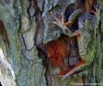 Animal vertebrado pertencente a classe Amphibia e a ordem Anura. Apresentam pequeno porte e caracterizam-se pelos dedos terminados em ventosa, que lhe permitem prender-se a superfícies verticais. <br /> <br /> Palavra-chave: anfíbios, anuros, Hylidae, ambientes úmidos.