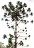 Filo Chordata, Classe das Aves, Ordem Columbidae, Família Columbiformes que inclui os pombos, pombas, rolas e rolinhas.Há cerca de 300 espécies desta famílias distribuídas em todos os continentes. Os columbídeos são aves de pequeno e médio porte, com pescoço, bico e patas curtas, que se alimentam de sementes e frutos.<br /> <br /> Palavras-chave: Chordata, aves, Columbidae, Columbiformes, espécies, porte, Zoologia, Biologia, Ciências.