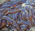 Animais invertebrados pertencentes ao filo Annelida. São animais marinhos e apresentam o corpo coberto por muitas cerdas, que participam da locomoção.<br /> <br /> Palavra-chave: anelídeos, parapódios, regeneração.